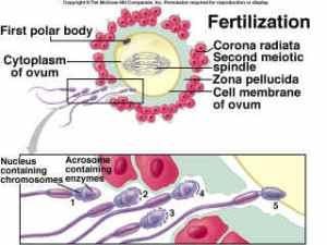 fertilisasi
