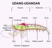 gambar 3. sistem pencernaan udang