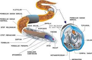 Gambar 2. Sstem pencernan Anelida (lumbriscus teresteris)
